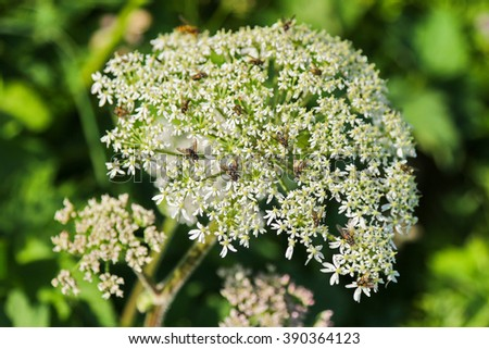 Closeup of insects on Cow Parsley flower (Anthriscus sylvestris) during summer in Europe - stock photo