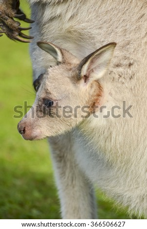 Closeup of kangaroo joey peering over the top of its mother's pouch - stock photo