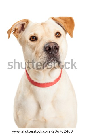 Closeup of Labrador Retriever Mix Breed Dog with a red collar.  - stock photo