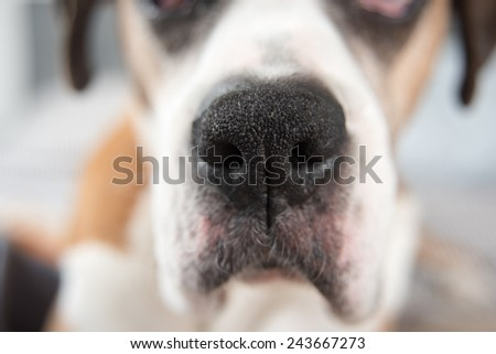 Closeup of Large Dog's Nose - stock photo