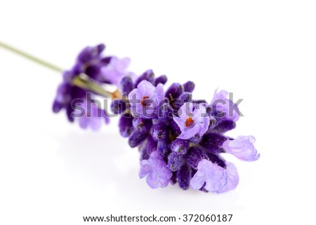 Closeup of lavender flower over white background - stock photo