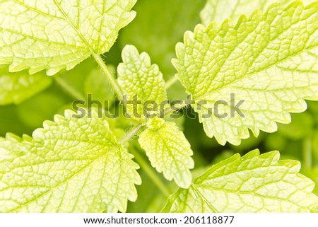 Closeup of lemon balm leaves ready to be picked and made into tea - stock photo