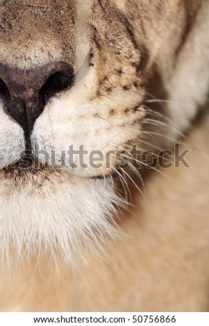 Closeup of lioness mouth - stock photo