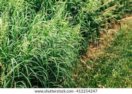 Closeup of long green bright vivid spring summer grass on countryside road, path in park, forest or field, textured green background, copyspace for text - stock photo
