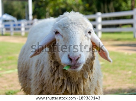 Closeup of long wool sheep on the farm. - stock photo