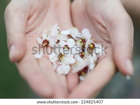 Closeup of male hands holding Plumeria tropical flower - stock photo