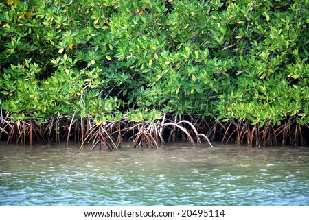 Closeup of mangrove roots on the coast in the Caribbean - stock photo