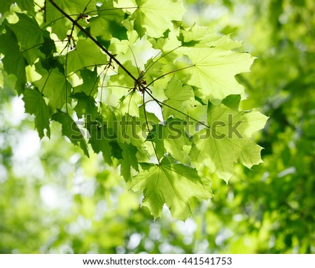 Closeup of maple twig with fresh foliage in morning over light forest background - stock photo