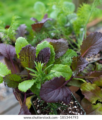 Closeup of New Edible Plant Starters Ready to be put into Raised Beds - stock photo