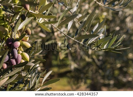closeup of olive tree with ripe olives - stock photo