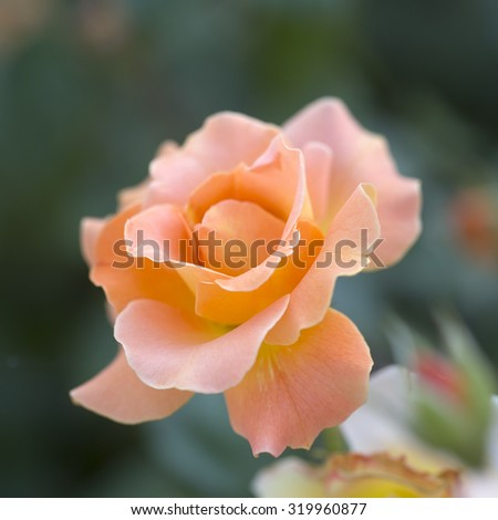 Closeup of one beautiful fresh wild rose bud flower blooming in spring or summer with soft wavy light orange petals pastel color outdoor on blur background, square picture - stock photo