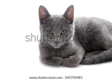 Closeup of one small gray cat isolated on white.Studio shot. - stock photo