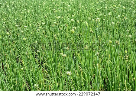 Closeup of onion plants in a vegetable farm - stock photo