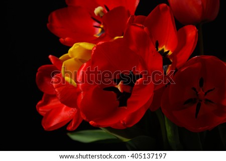 Closeup of opened bouquet of red tulips and yellow one on black background. Spring time nature detail. Selective focus. Dramatic lighting - stock photo