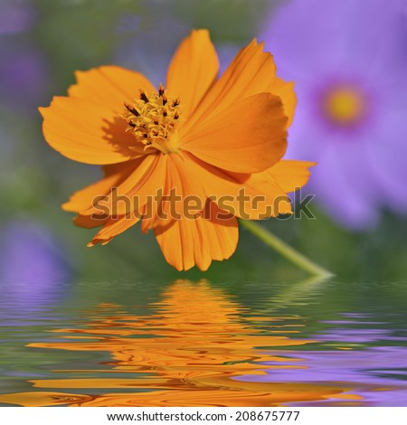 Closeup of orange cosmos flower above the water with reflection, digital effect - stock photo