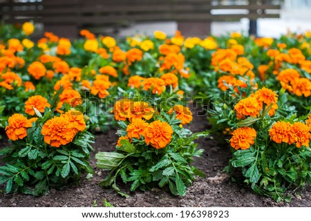 Closeup of orange french marigold field, selective focus - stock photo