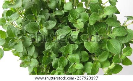 Closeup of oregano plant on white - stock photo