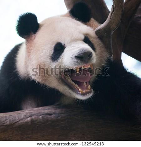 Closeup of panda bear roar - stock photo