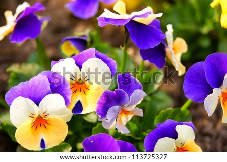 Closeup of pansy flowers, shallow depth of field - stock photo