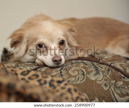 Closeup of Papillon puppy lying on ornate pillows - stock photo