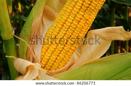 Closeup of partially-husked ear of field corn on stalk in farm field - stock photo