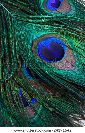 Closeup of Peacock Back Feathers - stock photo