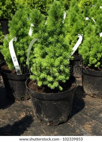 "Closeup of Picea Glauca ""Conica"" seedling in flowerpot - stock photo"