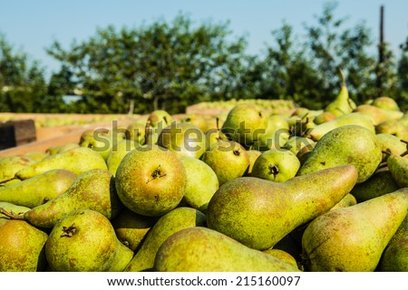 Closeup of picked Conference pears in wooden crates and in the background the orchard with low apple trees. - stock photo