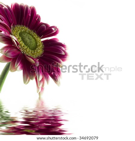 Closeup of pink daisy-gerbera with soft focus reflected in the water (with sample text) - stock photo