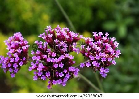 Closeup of pink flower. Green background. Detail of wildflower found in Scotland. Scottish flora. - stock photo