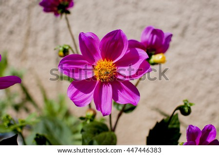 Closeup of pink flower with bee. - stock photo