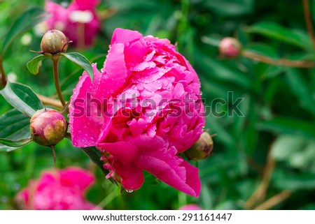 Closeup of pink garden peony flower with a drop of water on petals. - stock photo
