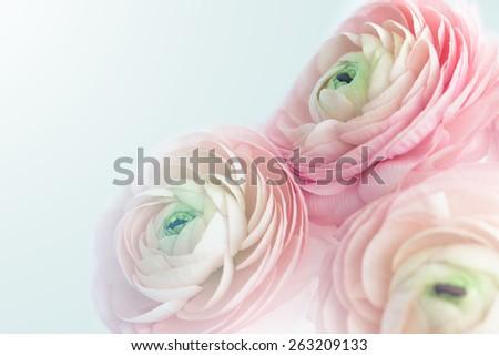 Closeup of pink ranunculus - stock photo