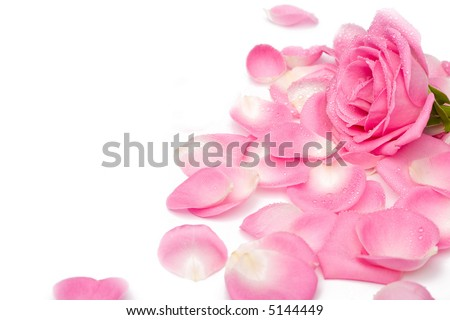 Closeup of pink rose petails covered dew - stock photo
