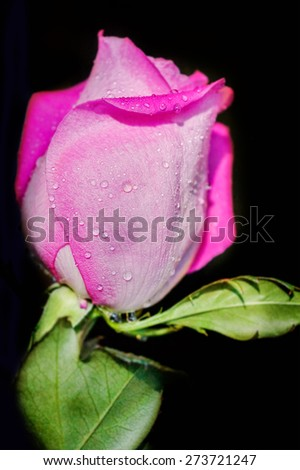 Closeup of pink rose with dripping water drops from petals on dark background, small depth of sharpness for a dreamy effect - stock photo
