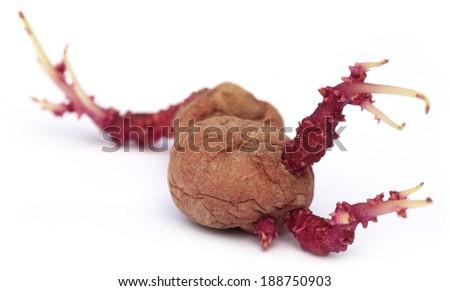 Closeup of potato germinating over white background - stock photo