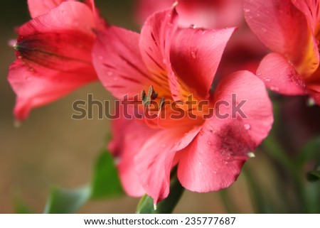 Closeup of pretty pink  Peruvian lilies or Lilies of the Incas in the garden  - stock photo