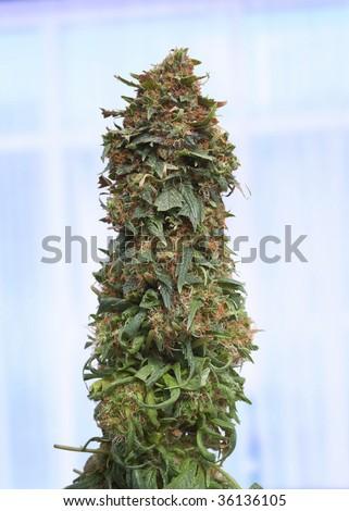 Closeup of pruned female marijuana bud in greenhouse - stock photo