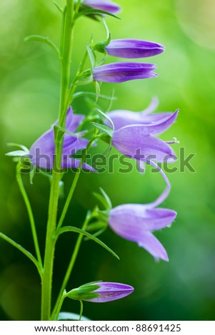 Closeup of purple campanula in the garden with shallow depth of field - stock photo