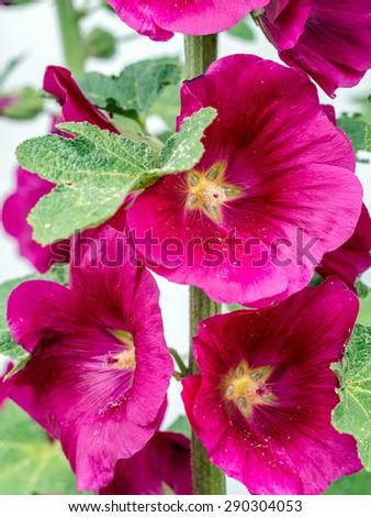 Closeup of purple hollyhock flowers - stock photo