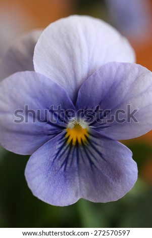 Closeup of purple violet with green leaves and wood background - stock photo
