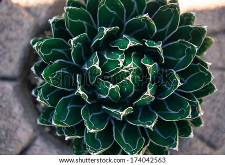 Closeup of Queen Victoria's Agave Plant - stock photo