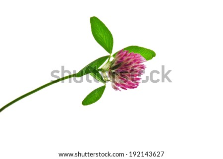 Closeup of red clover flower isolated on white  - stock photo
