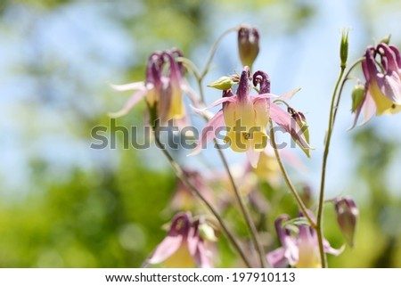 closeup of red columbine flowers in spring - stock photo