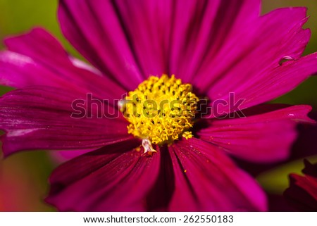 Closeup of red daisy-gerbera - stock photo