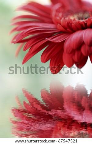 Closeup of red gerber - stock photo