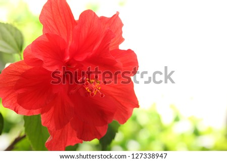 Closeup of red hibiscus flower - stock photo