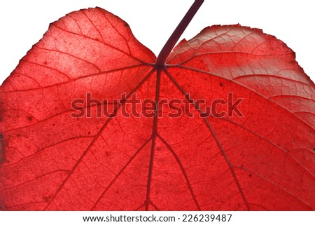 Closeup of Red Leaf on a Sunny Autumn Day - stock photo