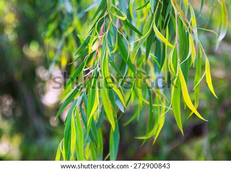 Closeup of  Red mallee  plant  - stock photo