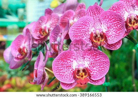 Closeup of red pink orchid phalaenopsis. Beautiful red pink orchid flower blooming. Bouquet of orchid flower. Orchid background for design. Orchid flower of Thailand. - stock photo